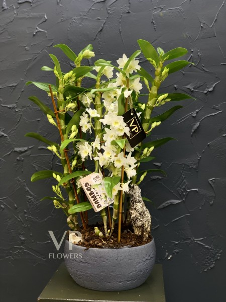 White Dendrobium Orchid Arrangement