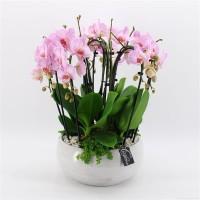Planted Soft Pink Phalaenopsis Gift