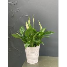 Spathiphyllum Bellini