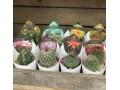Flowering Cactus Tray